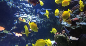 The deal between PrepVolleyball.com and ASM was signed on Friday in Long Beach, after which time my wife, Lisa, my sons Casey and Jordy and I celebrated by going to the beautiful Aquarium of the Pacific, where we saw these yellow tangs